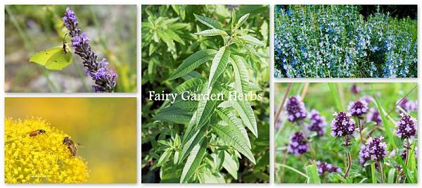 fairy garden plants for herbal section