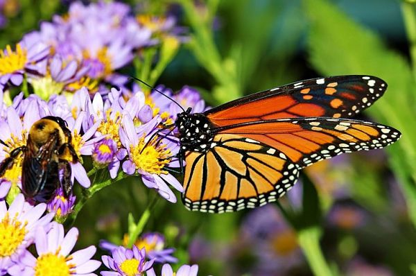 flowers for bees and butterflies